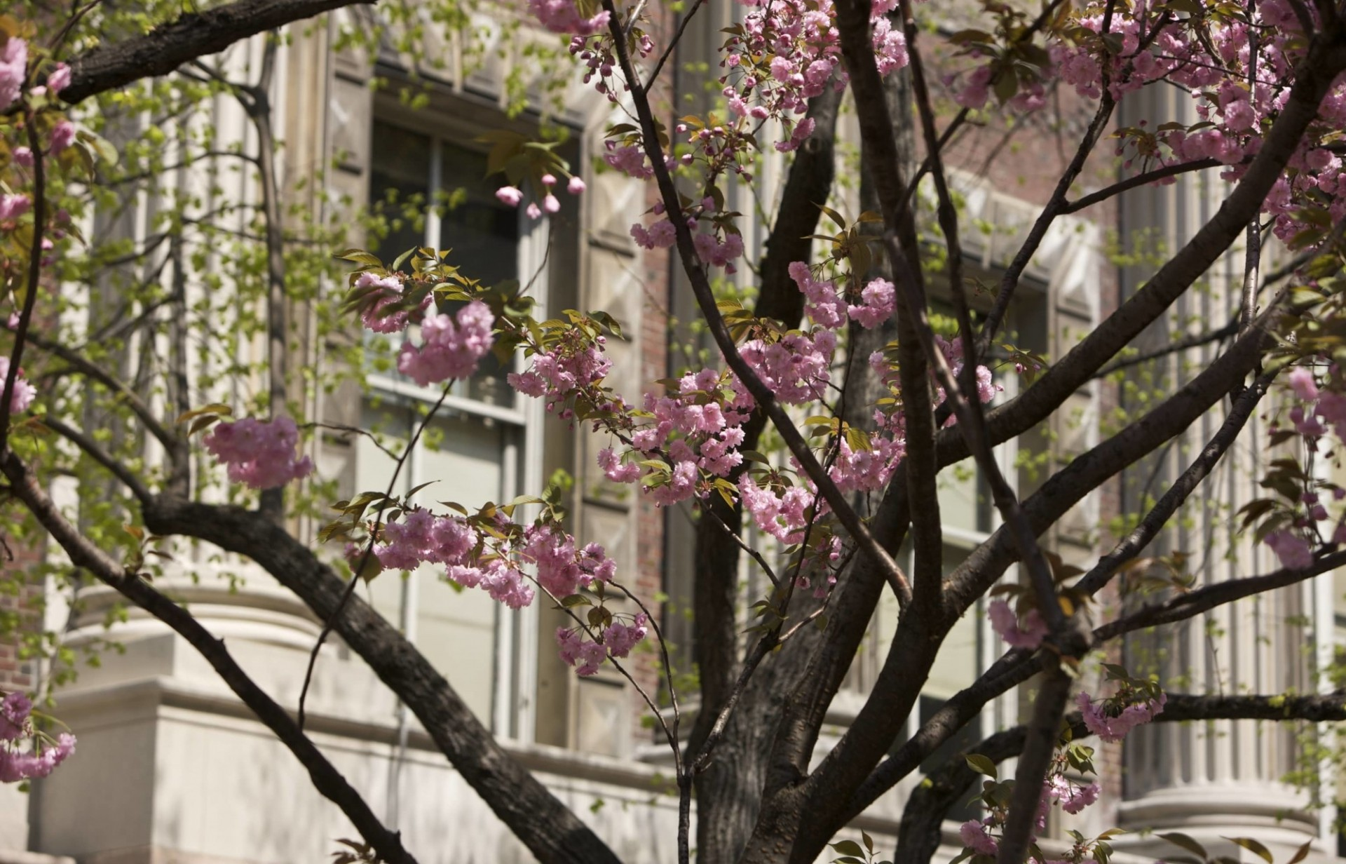 Cherry blossoms adorn Columbia's historic campus.